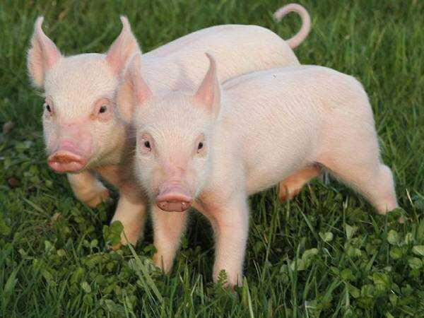 Mơ thấy lợn liên quan đến số đề nào? Có phải là điềm lành không?