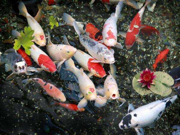 Mơ thấy cá chép đánh lô đề số gì? Là điềm báo lành hay dữ