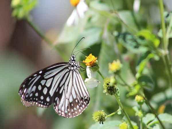 Vậy bướm bay vào nhà tốt hay xấu?