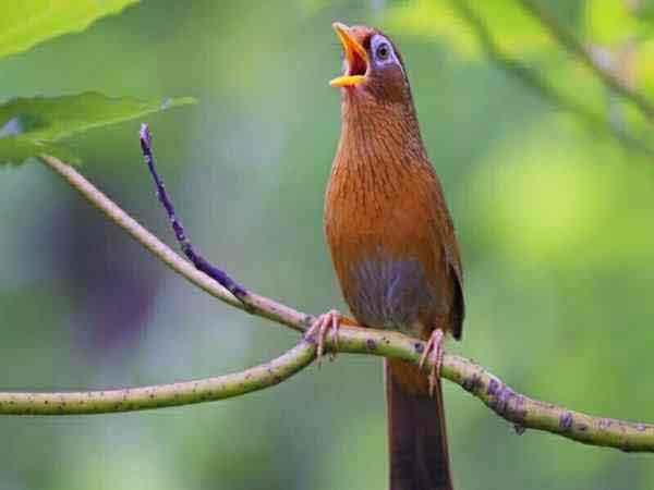 Giải mã hiện tượng chim khách kêu theo giờ là điềm báo gì?