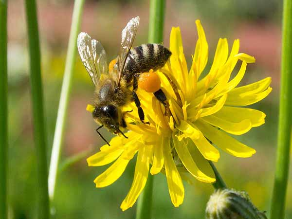 Giải mã hiện tượng ong bay vào nhà?