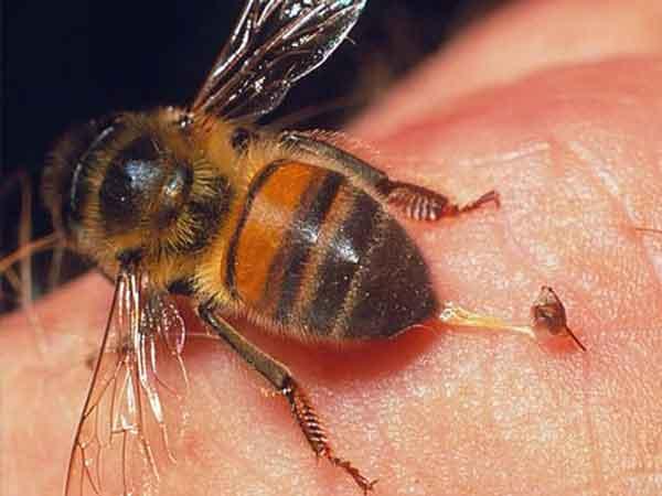Giải mã hiện tượng bị ong đốt là điềm gì?
