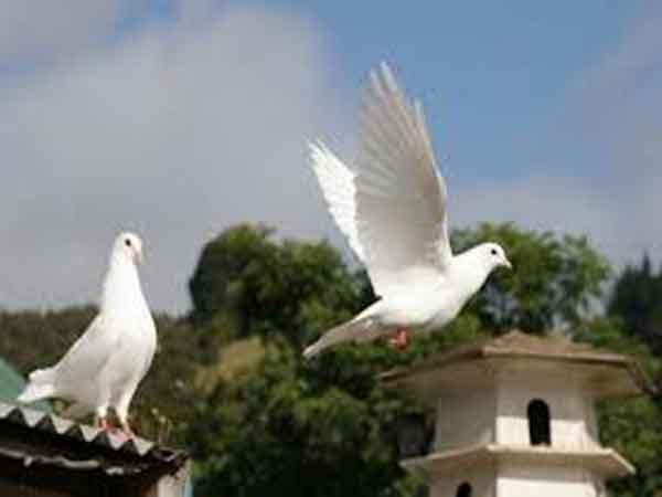 Giải mã hiện tượng chim bồ câu bay vào nhà là điềm gì?