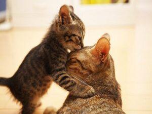 Con mèo kêu có điềm gì? Giải mã hiện tượng mèo kêu?