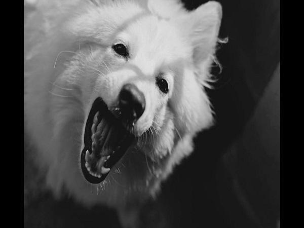 Chó sủa điềm gì? Giải mã điềm báo chó sủa liên hồi ?