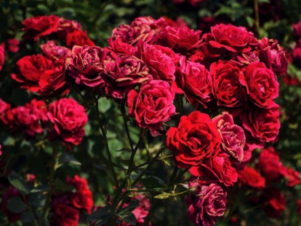 Mơ thấy hoa hồng là điềm đen hay đỏ - Hoa hồng là số mấy?