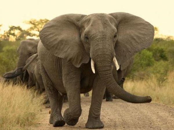 Mơ thấy voi là điềm hung hay cát? Ghi ngay con số mấy?