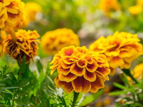Mơ thấy hoa vạn thọ đánh con gì?